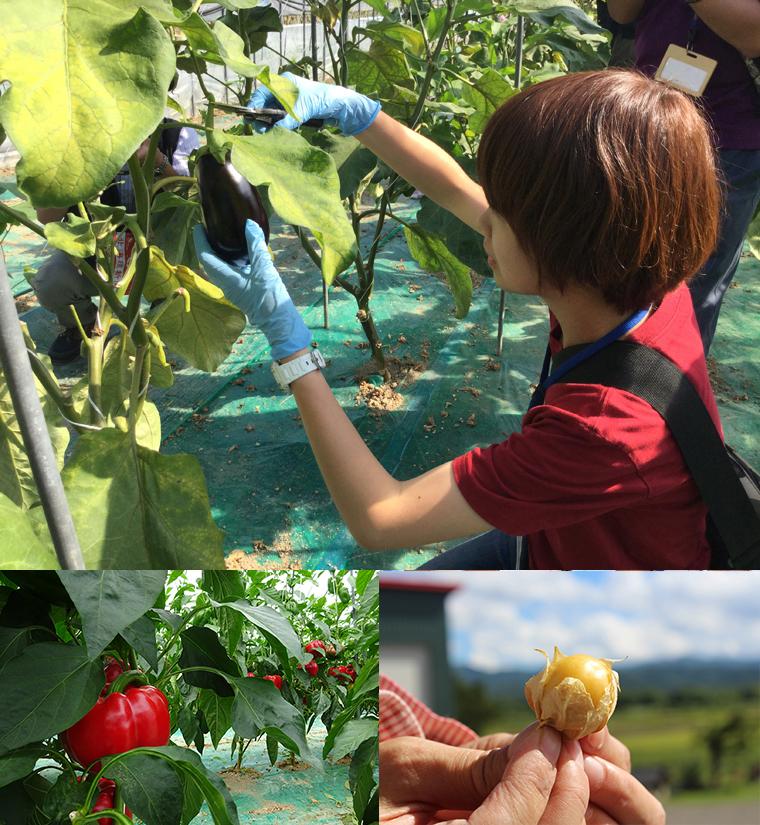 商品にするための収穫方法を学びます、佐野農園のパプリカは、鮮やかな色と実の厚さが人気、食用ほおずき