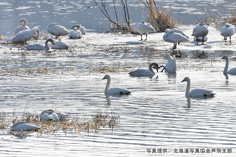 野花南湖は、白鳥など渡り鳥の飛来地としても知られています
