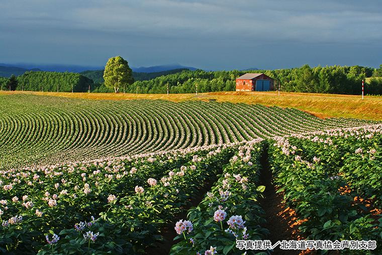 夏 ― 丘一面に広がるジャガイモ畑