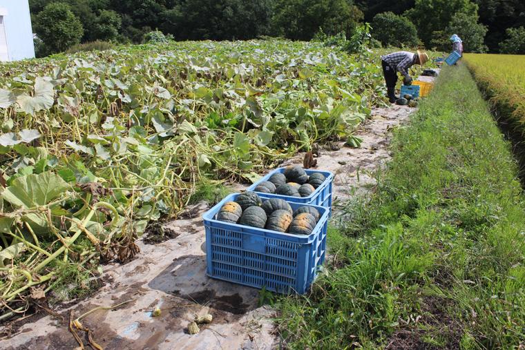 カボチャの収穫風景