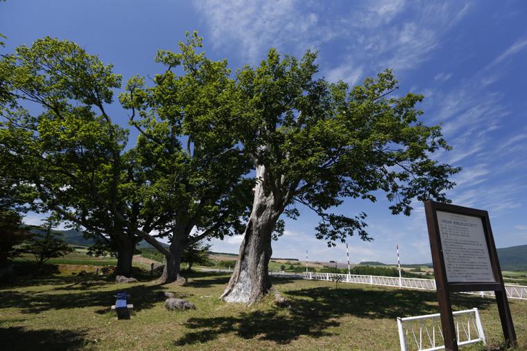 新城のまちを見守るように立つ、三本の巨木