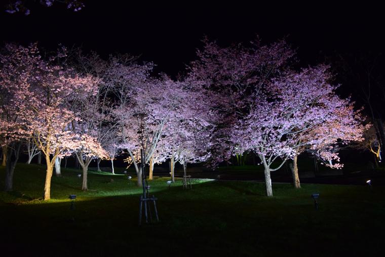 旭ヶ丘公園 夜桜ライトアップ