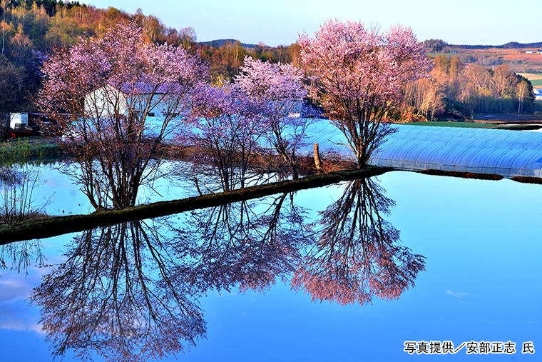 水田に写る桜